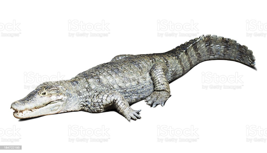 spectacled caiman on white stock photo