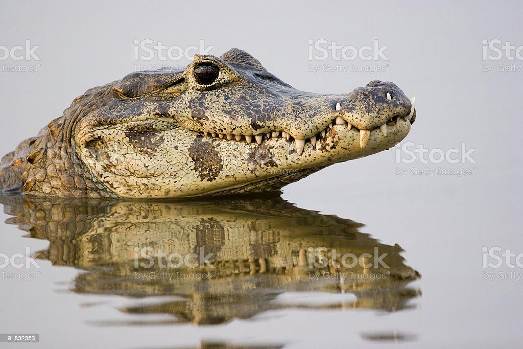 Spectacled caiman, Pantanal, Brazil stock photo