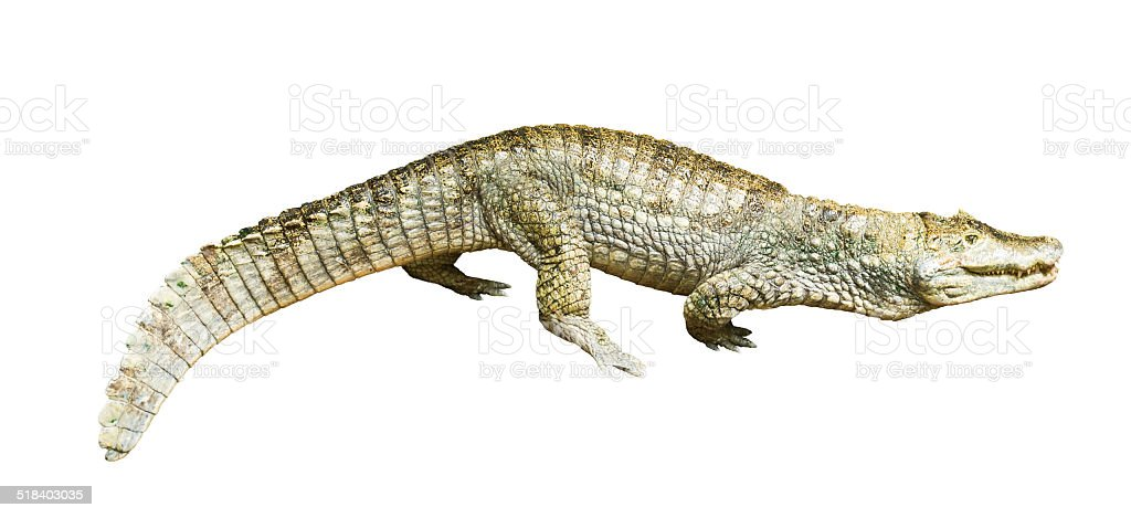 spectacled caiman stock photo