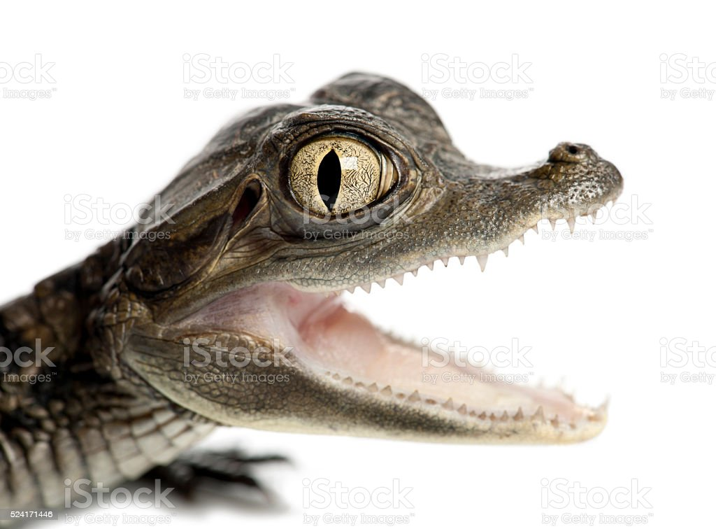 Spectacled Caiman portrait and close up stock photo