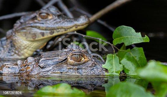 Spectacled Caiman (Caiman crocodilus), Tortuguero National Park, Costa rica