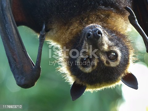 Spectacled Flying-fox (Pteropus conspicilatus) photograped at Port Douglas, Far North Queensland, Australia.