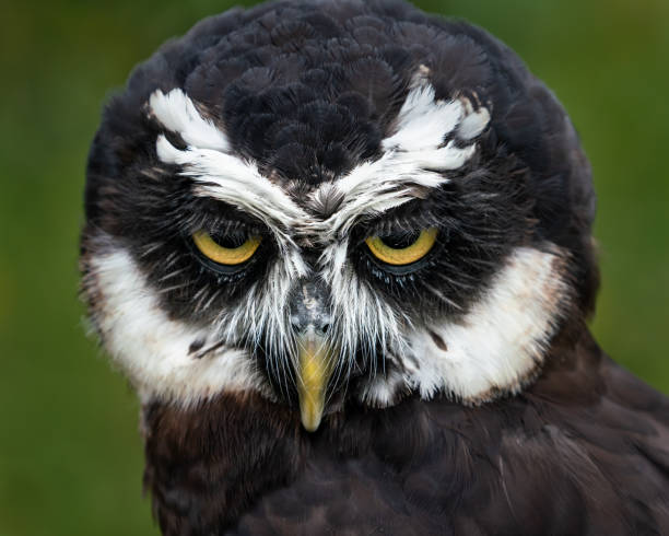 Spectacled Owl II stock photo