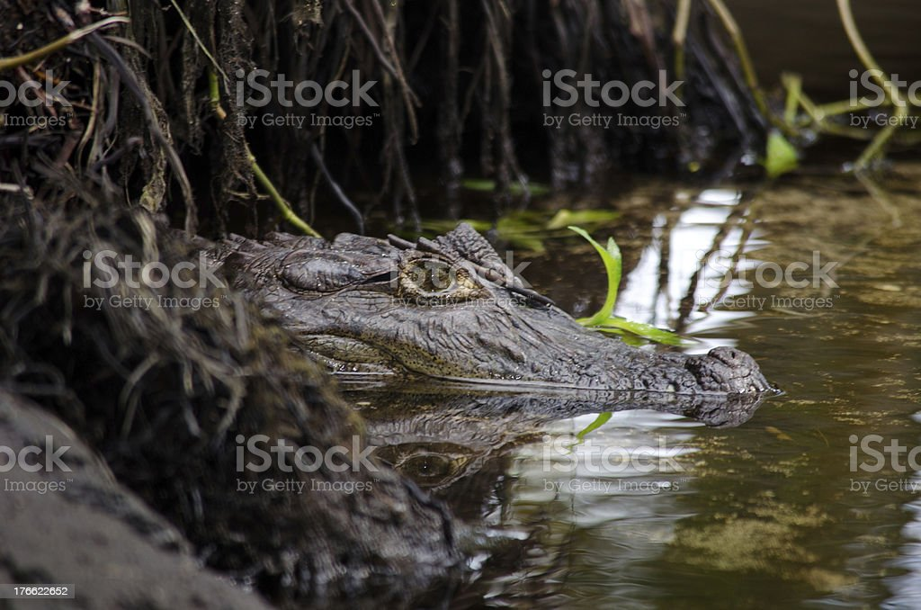 Spectacled White Common Caiman stock photo