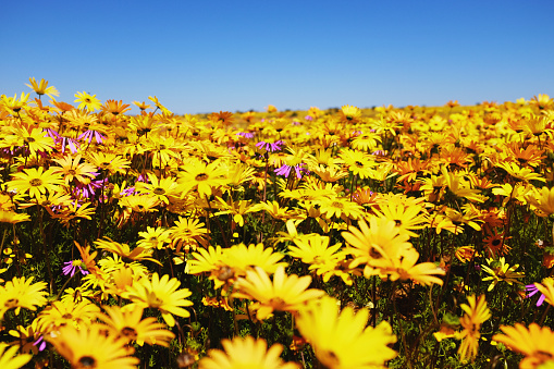 Masses of brightly colored daisies burst out as a result of the spring rains in Namaqualand, Western Cape, South Africa.