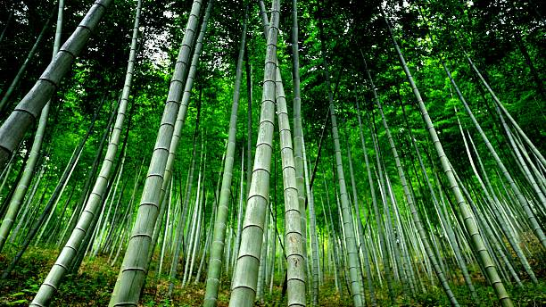 Spectacular bamboo forest 002 – Foto