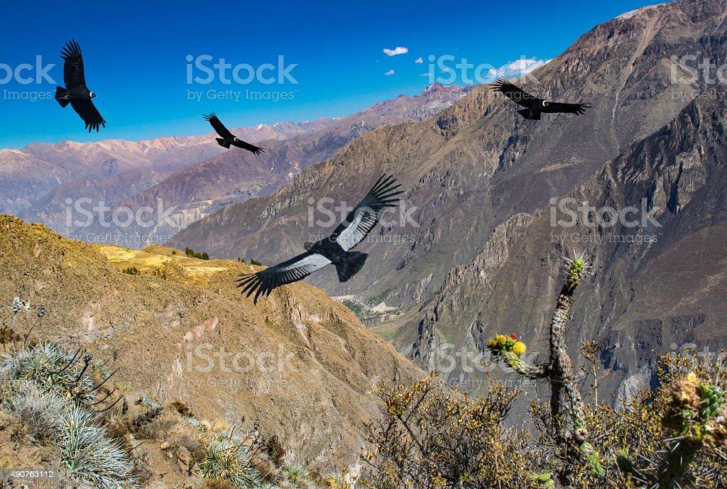 spectacular birds flying above Cruz del condor, Peru stock photo