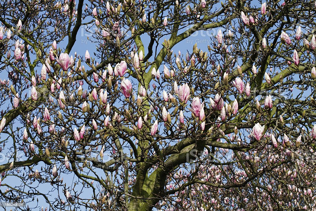 Spectacular display of Magnolia X soulangeana blossom in bud stock photo