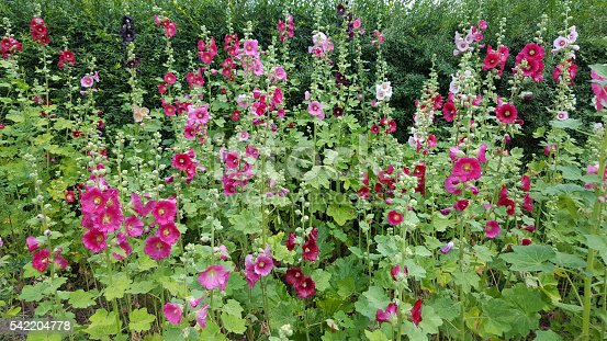 Many shades of pink Hollyhocks.  Hollyhocks are an Heirloom plant dating back to early English Country Gardens.