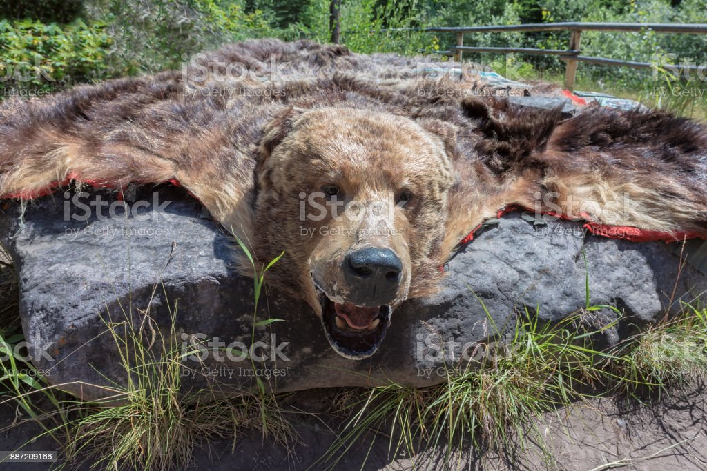 Spectacular grizzly bear skin stock photo