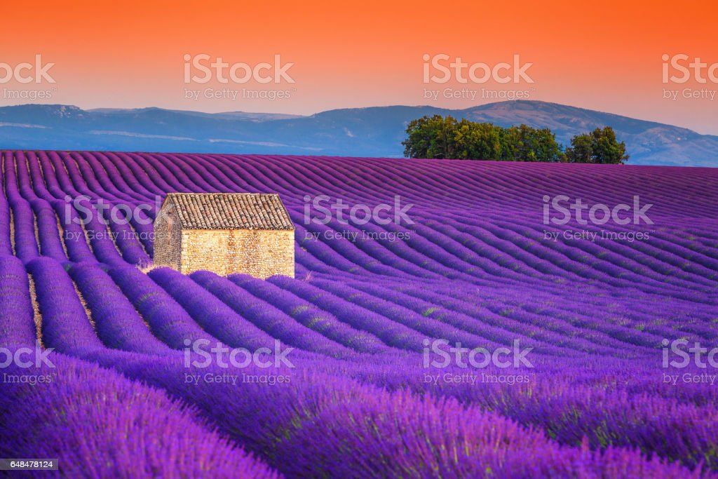 Spectacular lavender fields in Provence, Valensole, France, Europe stock photo