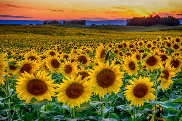 Spectacular Summer Sunflower Field Sunset stock photo