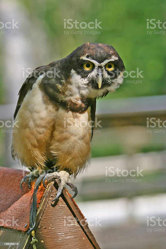 spectical owl looking stock photo