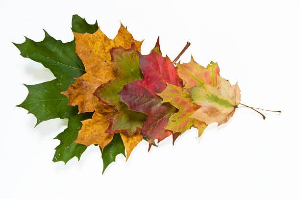 Spectrum of autumn leaves colors stock photo