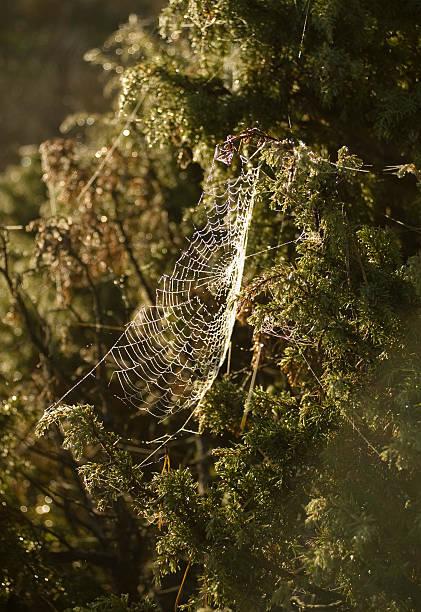 Speder-in einem kleinen bush im Herbst – Foto