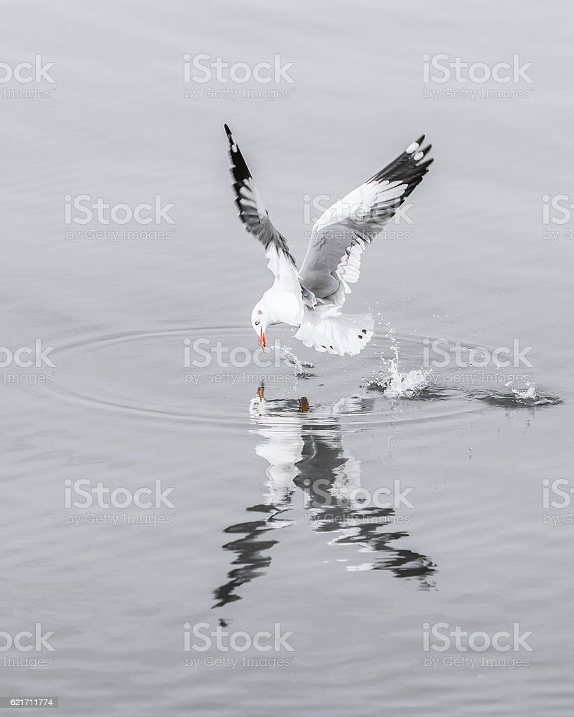 Speed seagull flying on water surface to catch food stock photo
