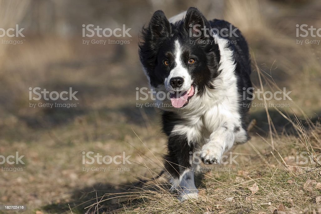 Speedy Border Collie stock photo