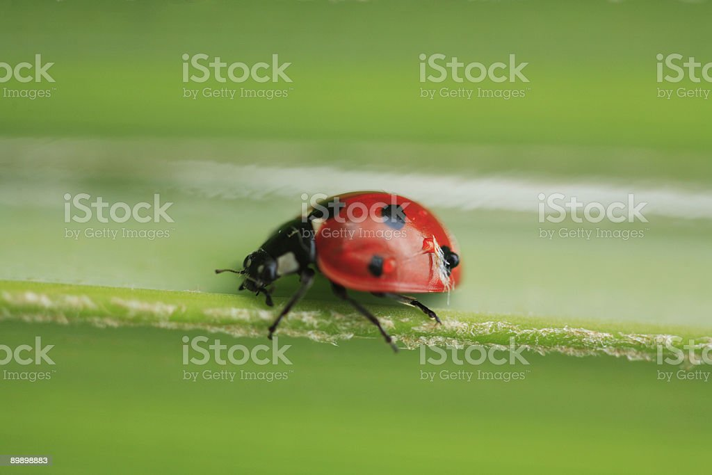 Speedy ladybird royalty free stockfoto