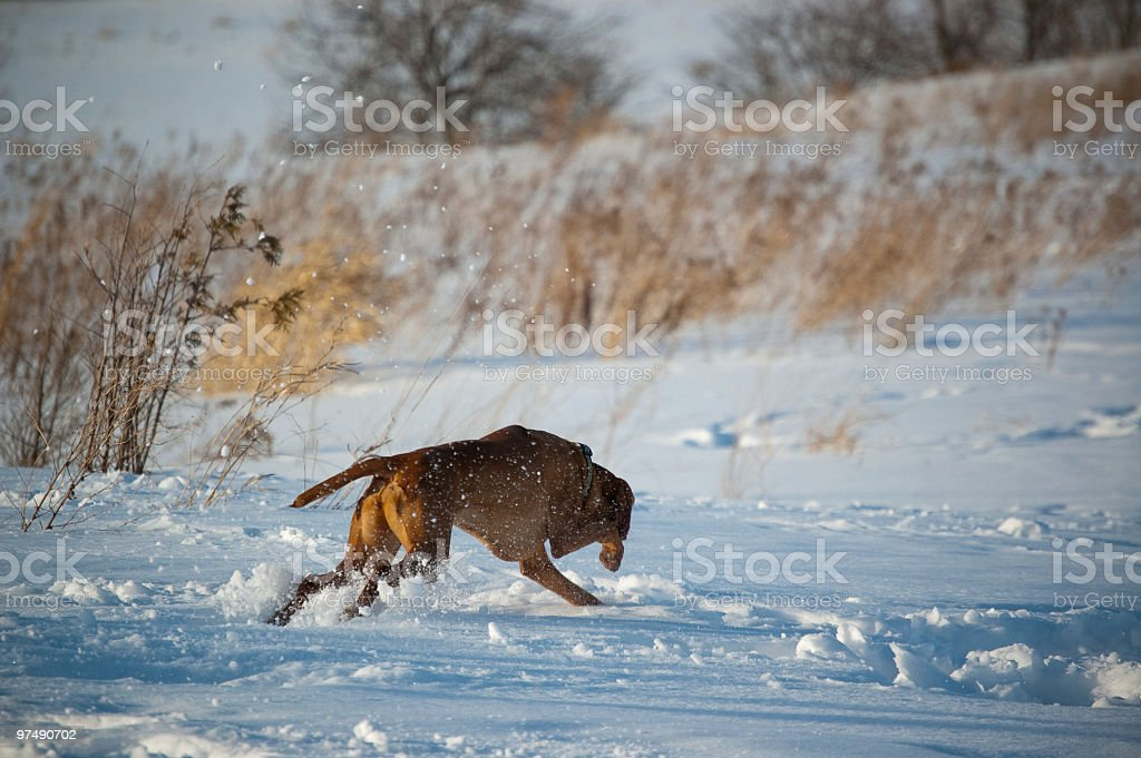 Speedy Vizsla Running in the Snow royalty-free stock photo