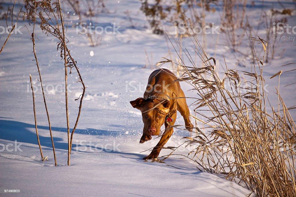 Speedy Vizsla Running in the Snow royalty-free stock photo