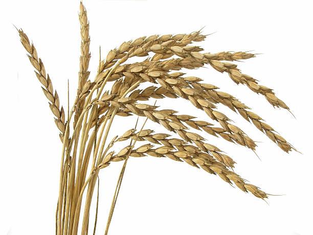 Spelt stocks against white background sheaf of spelt wheat spelt stock pictures, royalty-free photos & images