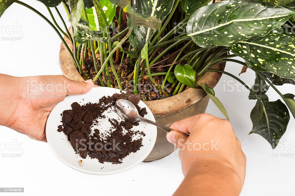 Spent coffee grounds being used as natural plants fertilizer stock photo