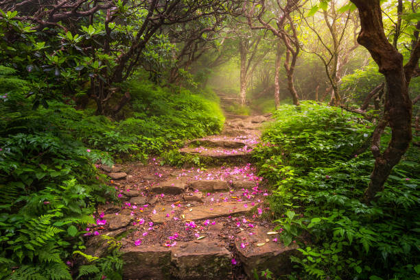 Spent rhododendron petals along foggy trail stock photo