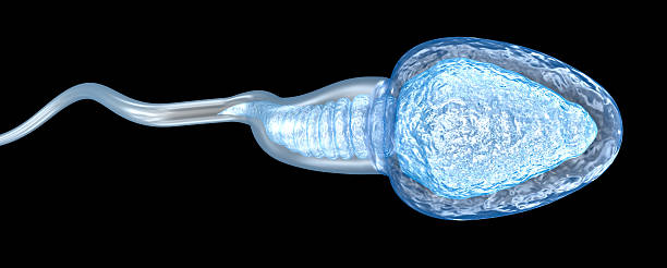 sperm illustration, medically accurate 3d illustration - human sperm stock photos and pictures
