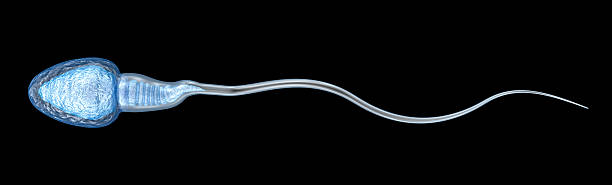 Sperm illustration, Medically accurate 3D illustration stock photo