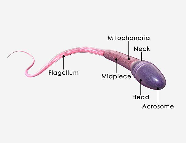 Sperm labelled stock photo