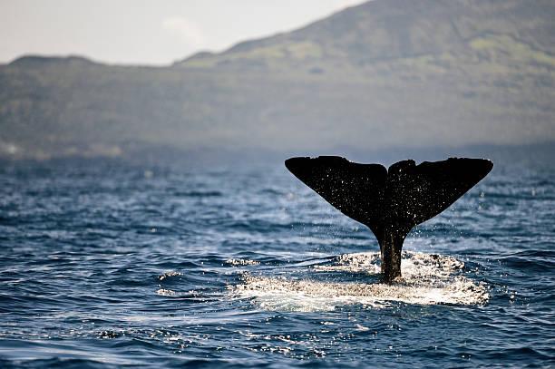 sperm whale fluke stock photo