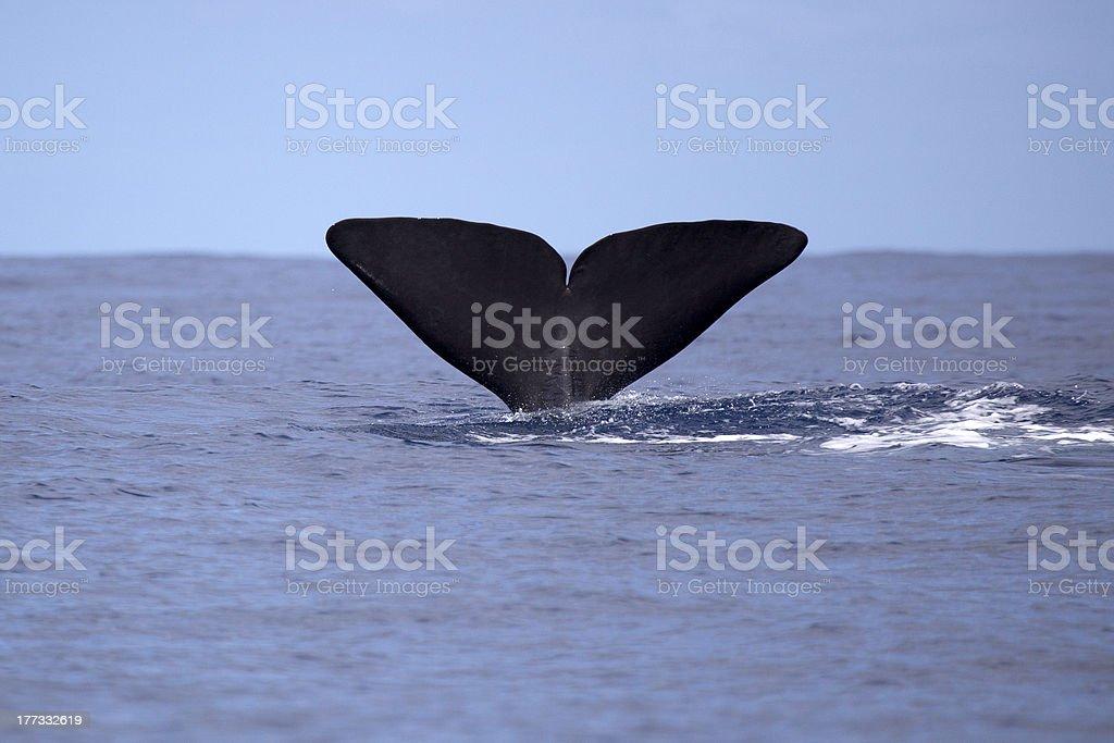 Sperm whale going deep stock photo
