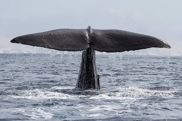 sperm whale his tail above the water when the water - Photo