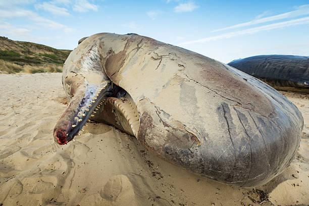 Cachalot bloqué sur la plage - Photo