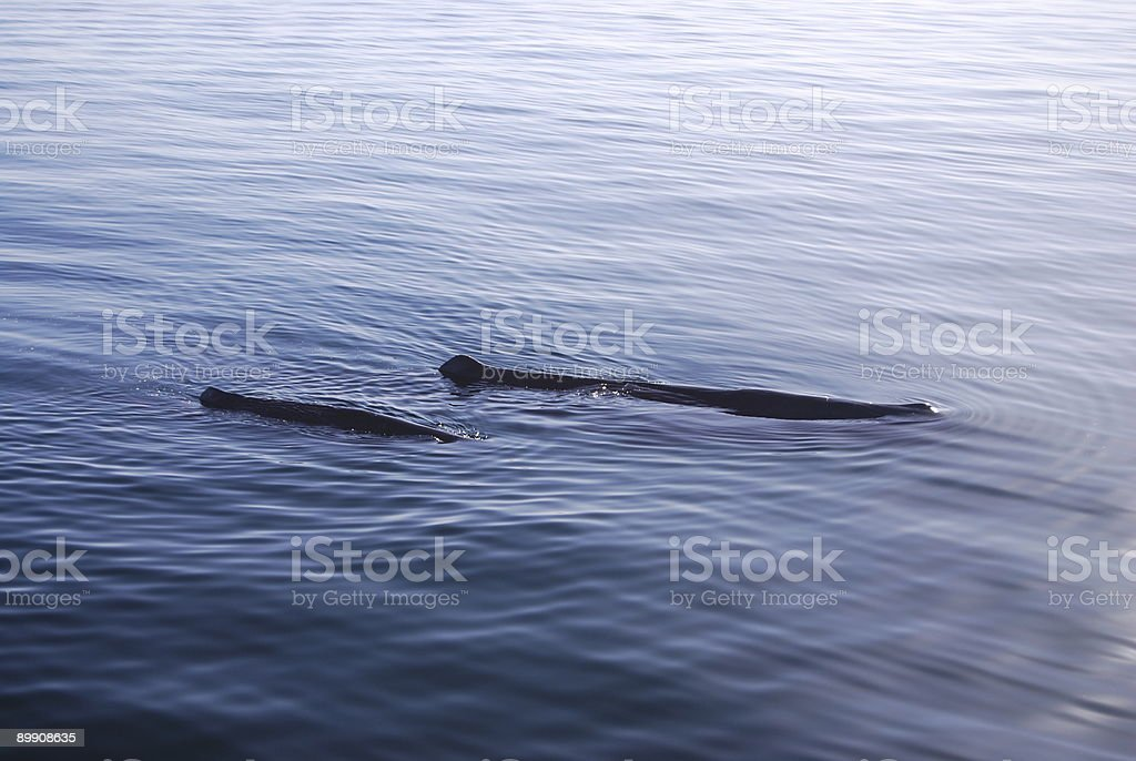 Sperm Whales, mother and child stock photo