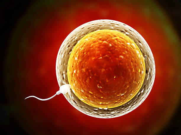 spermatozoon, floating to ovule - human sperm stock photos and pictures