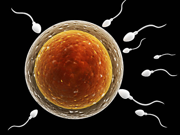 spermatozoons, floating to ovule - human sperm stock photos and pictures
