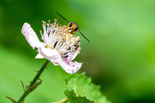 istock Sphaerophoria scripta (long hoverfly) on flower of wild blackberry flower 1168556193