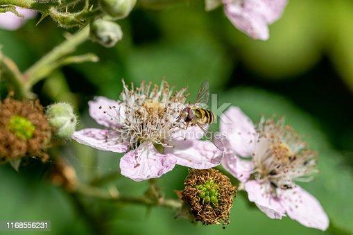 istock Sphaerophoria scripta (long hoverfly) on flower of wild blackberry flower 1168556231