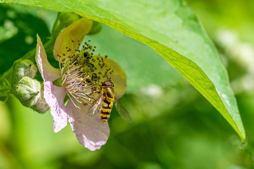 istock Sphaerophoria scripta (long hoverfly) on flower of wild blackberry flower 1168805691