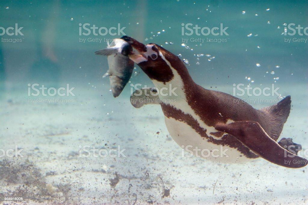 Spheniscus humboldti - Pinguino di Humboldt - foto stock