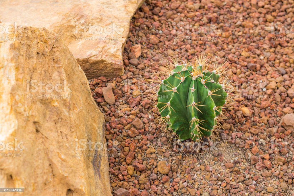 Sphere green cactus on the small rock ground in the botanic garden for plantation tree flower and many plant for tourist student or  seeing. stock photo