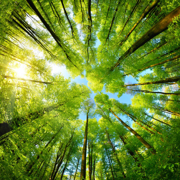 Spheric panorama in a forest, magnificent upwards view to the treetops stock photo