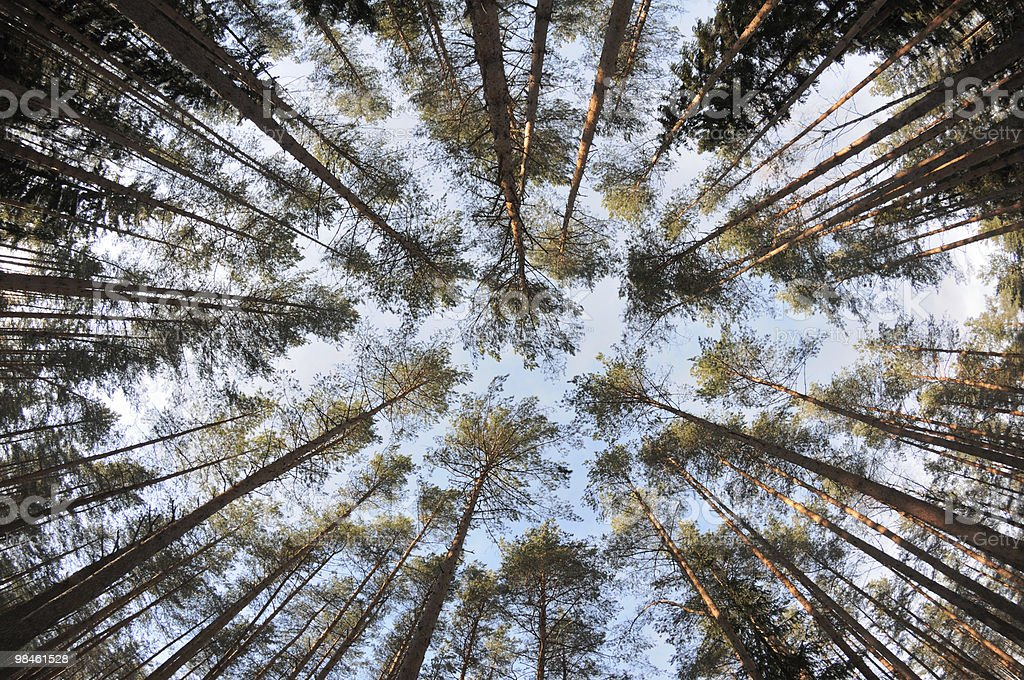 Spherical view of the pine tree forest tops royalty-free stock photo