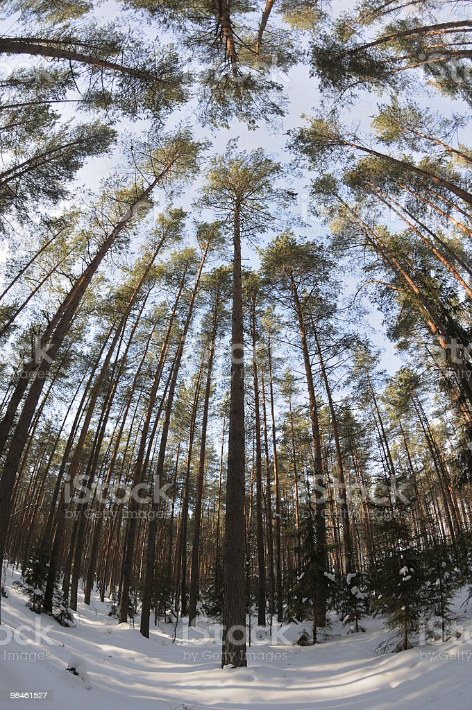 Spherical views of the pine winter forest royalty-free stock photo