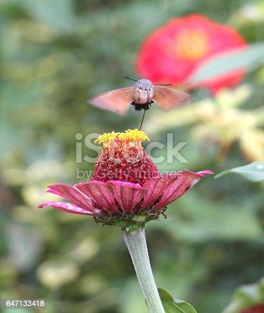 picture of a Sphingidae, known as bee Hawk-moth, enjoying the nectar of a gerbera. Hummingbird moth. Calibri moth.