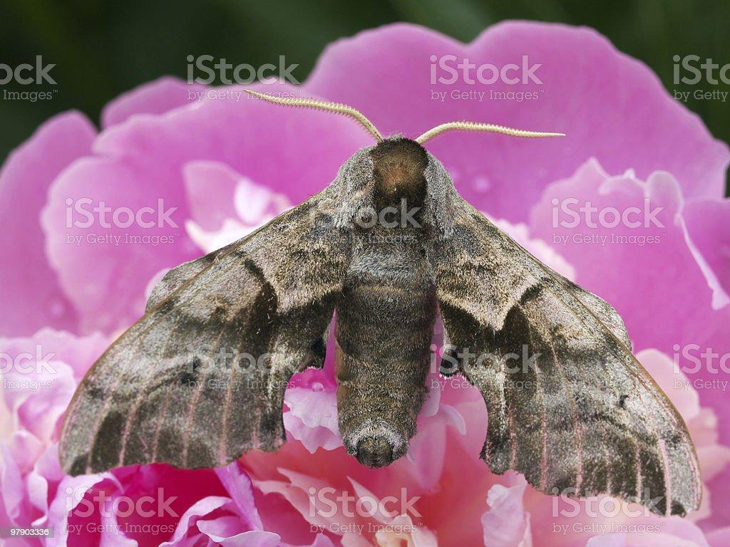 Sphingidae on peony royalty-free stock photo