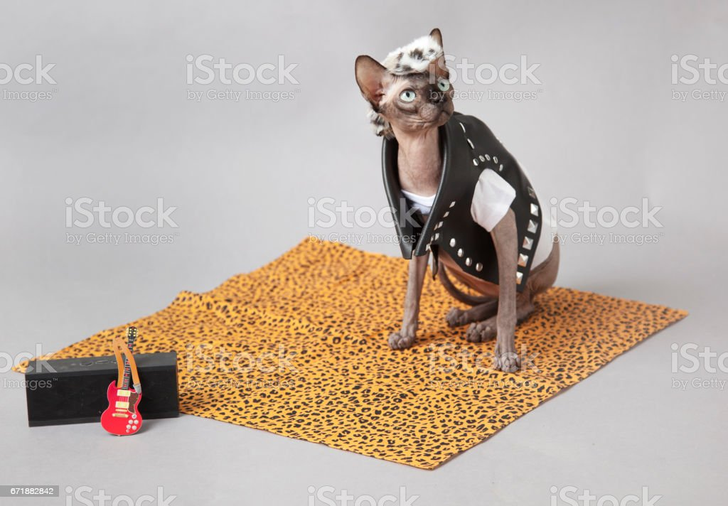 Sphinx Cat dressed as a punk rocker wearing a leather jacket with guiter stock photo
