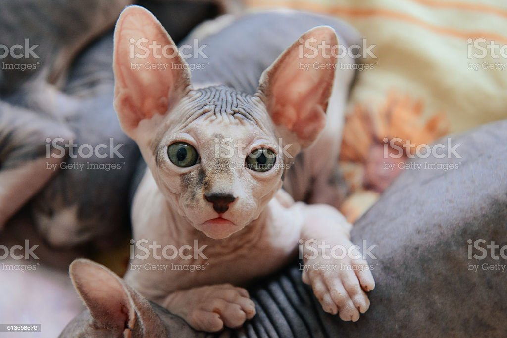 Sphinx cat lying with his brothers stock photo