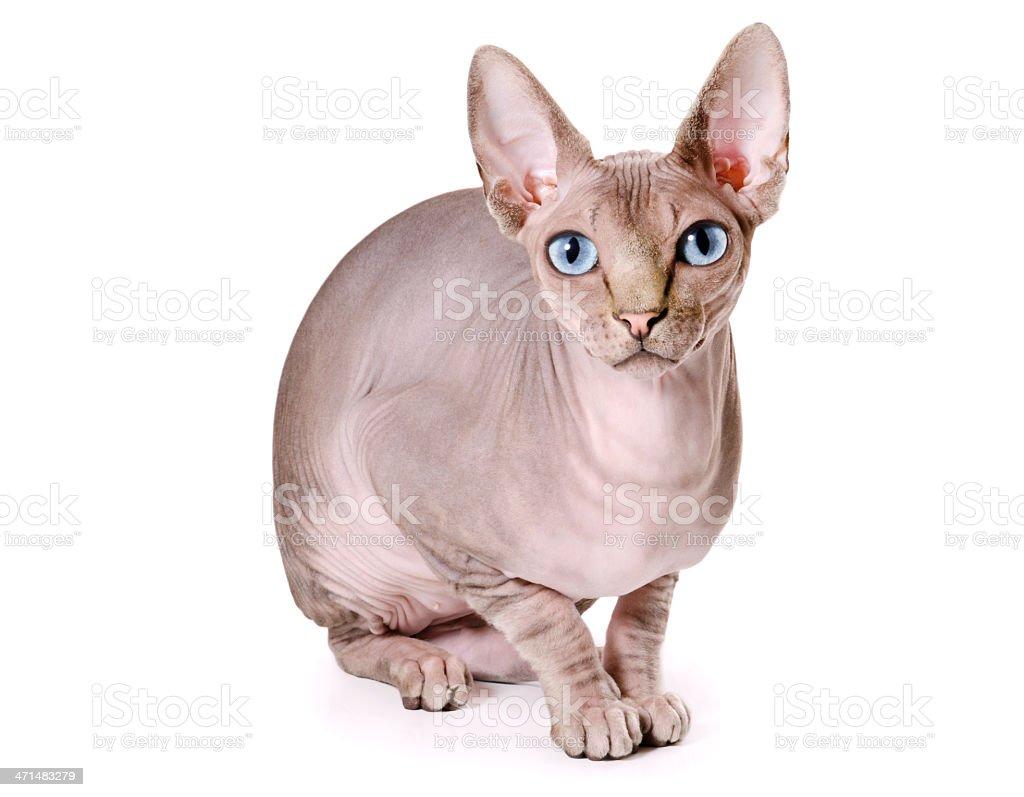 sphinx cat royalty-free stock photo